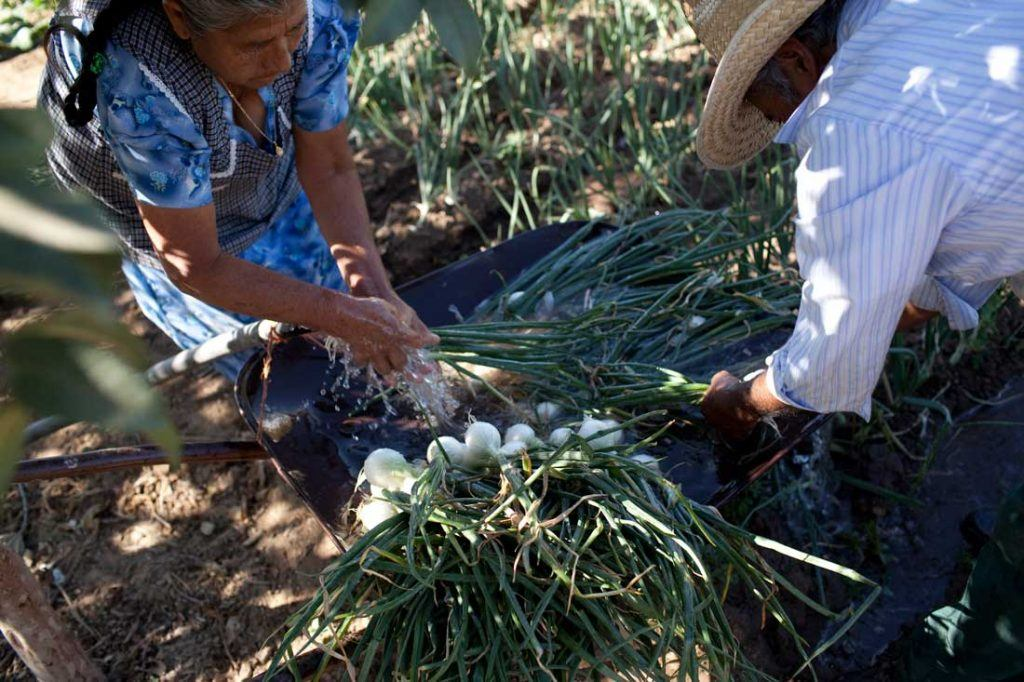 Emiliano Sanchez Contreras and his wife Irene Martinez Gonzalez wash freshly harvested onions in a wheelbarrow beside their field They allow the water from washing to run off the wheelbarrow and into the field for irrigation, in an effort to conserve water. Emiliano he has had to dig his well deeper and deeper in recent years. Photo by Evan Abramson.